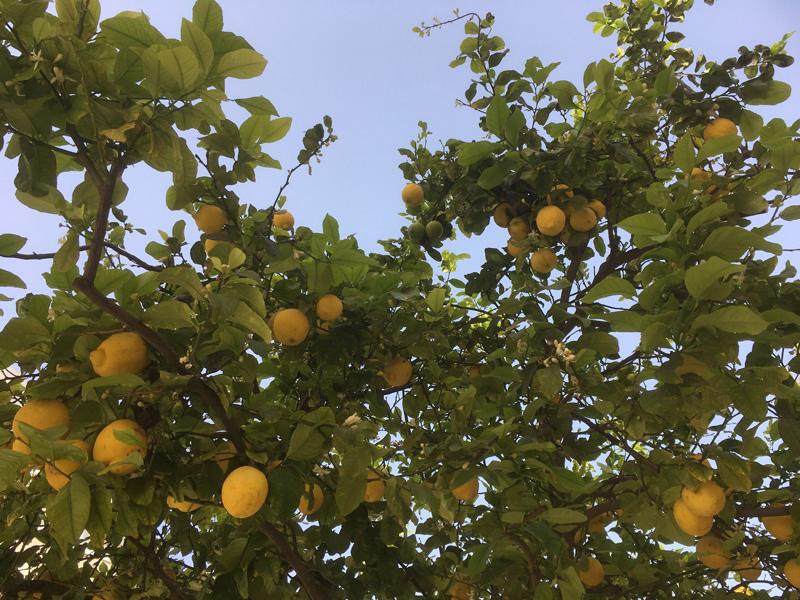 Lemon Tree, Paphos, Cyprus